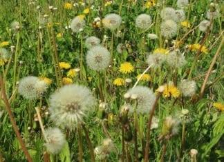 pollen, virágpor, allergia, pollenallergia, nyári asztma, asztma, légzési nehézség