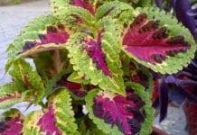 Plectranthus barbatus (Coleus forskolii)