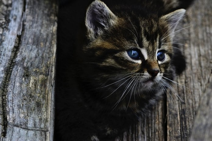 kóbor macska