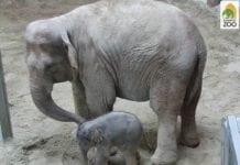 újszülött kiselefánt az Állatkertben