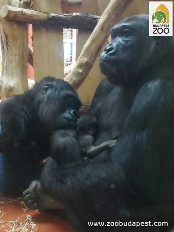 Kis gorilla született az Állatkertben