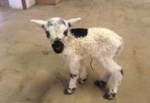 Bori bárány a Katica tanyán