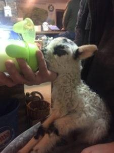 Bori bárány