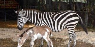 zebra-szamár, zebmár